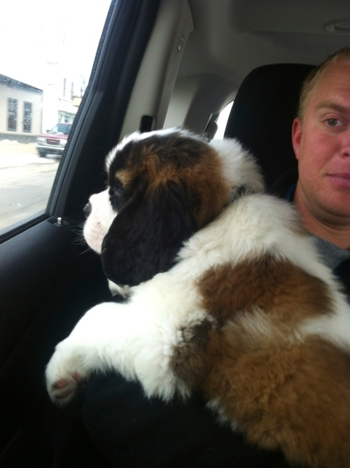 Meet Virginia, our new St. Bernard